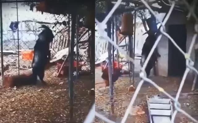 """[VIDEO] Lelaki ini tekad jual kambing peliharaannya tanpa sebab, """"saya cuma mahu ia jauh daripada saya"""""""